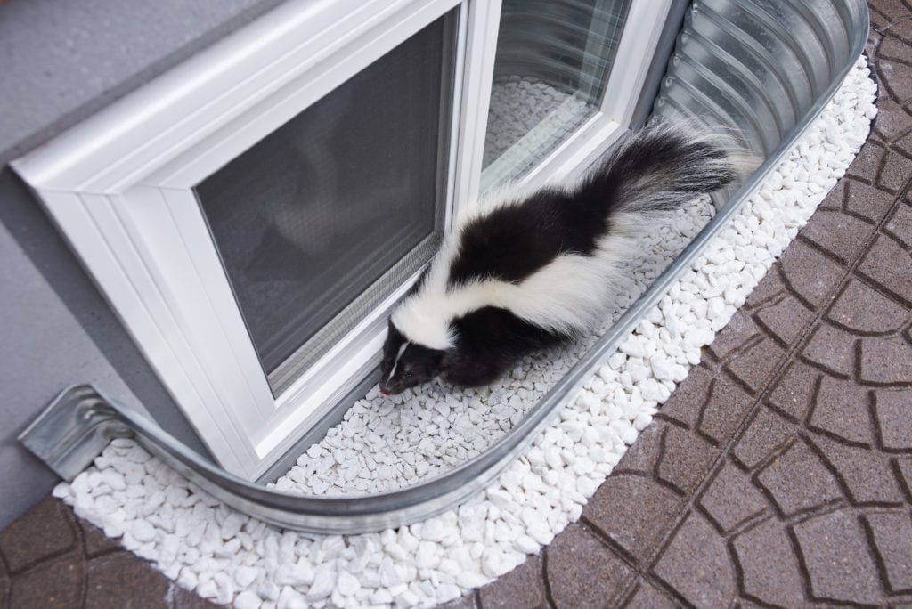 Skunk trapped in uncovered Window Well